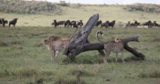 2-Day Masai Mara Safari
