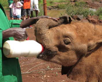 Sheldrick Wildlife Trust Orphaned Elephants Tour