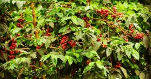 Coffee Farm & Tasting Excursion