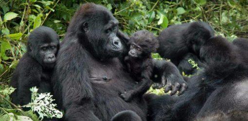 2-Day Rwanda Gorilla Safari
