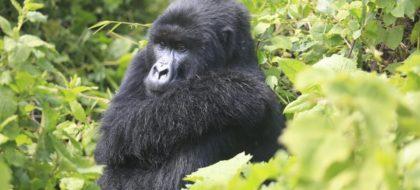 5-Days Epic Rwanda Gorilla & Chimpanzee Adventure