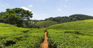 Tea Farm Tour