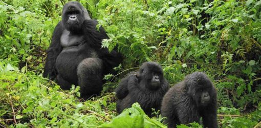 4-Day Rwanda Gorilla Trekking Safari